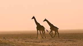 Giraffes in the dust royalty free stock photos