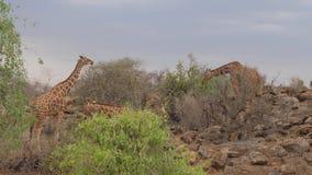 Giraffes Eat Leaves From Trees. The Samburu Of Kenya. stock video footage