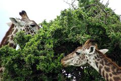 Giraffes Eating Stock Images