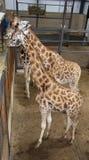 Giraffes eating Royalty Free Stock Image