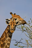 Giraffes eating Royalty Free Stock Image