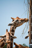 Giraffes eating branches at the pole Stock Photo