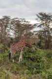 Giraffes eating Royalty Free Stock Photo