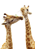 Giraffes eating the grass Royalty Free Stock Photo