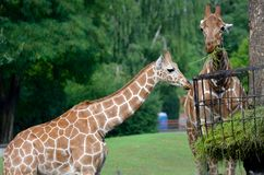 Giraffes eating grass Stock Image