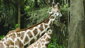 Giraffes eating grass at the zoo. Video footage of two giraffes eating grass at the zoo. Giraffes are the tallest living animals in the world stock video