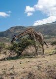 Giraffes eating Stock Image