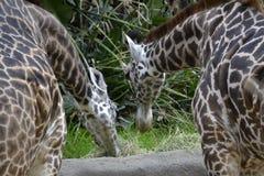 Giraffes Eating Hay Stock Photography