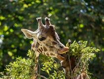 Giraffes eating leaves Royalty Free Stock Images