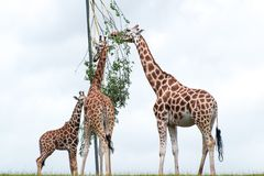 Giraffes eating leaves from a tree. Giraffes eating eating green leaves from a tree with white cloudy background Royalty Free Stock Photography