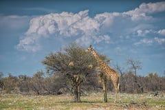 Giraffes eating leaves of trees. Etosha. Namibia. royalty free stock images