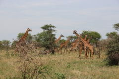 Giraffes eating in the savanna Royalty Free Stock Image