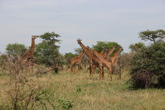 Giraffes eating in the savanna Royalty Free Stock Images
