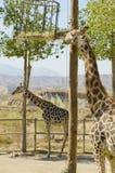 Giraffes eating time. Stock Photo