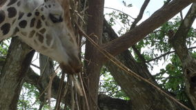 Giraffes. Two giraffes are eating twigs. Closeup of their heads. Filmed in 4k UHD resolution stock footage