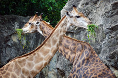Giraffes eating Royalty Free Stock Images