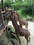 Giraffes eating Stock Photo