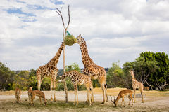 Giraffes eating at a zoo Stock Image