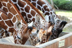 Giraffes eating in zoo Stock Images