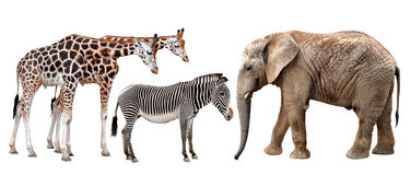 Giraffes, elephant and zebras. Isolated on white Stock Photo