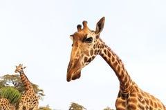 Giraffes em África do Sul Fotografia de Stock