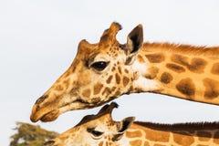 Giraffes em África do Sul Imagem de Stock