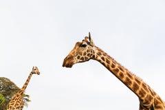 Giraffes em África do Sul Foto de Stock