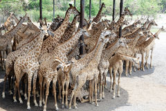 Giraffes en stationnement de safari de zoo Photos stock
