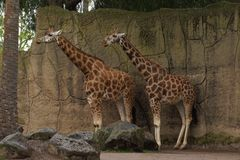 Giraffes in Enclosure. The giraffes are in an enclosure and are fed daily. They are protected from other animals which might cause problems and fighting royalty free stock image