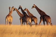 Giraffes entrant hors fonction dans l'horizon au coucher du soleil Image stock