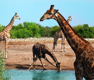 Giraffes in Etosha. National Park, Namibia Stock Photography