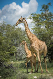 Giraffes in Etosha national park, Namibia Stock Photos