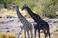 Giraffes in Etosha National Park. Etosha National Park is a national park in northwestern Namibia Stock Image