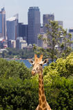 Giraffes with a fabulous view of Sydney Stock Photography