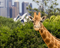 Giraffes with a fabulous view of Sydney Stock Image