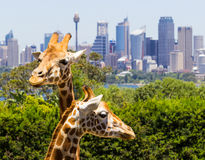 Giraffes with a fabulous view of Sydney Stock Images