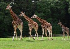 Giraffes family Stock Images