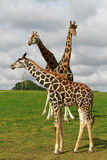 Giraffes family Royalty Free Stock Photos