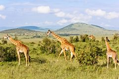 The Giraffes Family Royalty Free Stock Images