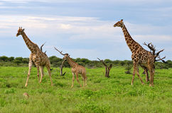 Giraffes family Royalty Free Stock Photo