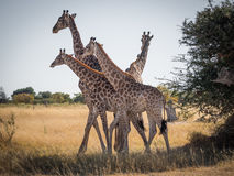Giraffes family of four close together. Four giraffes close together moving as one unit in Moremi National Park, Botswana Royalty Free Stock Photo