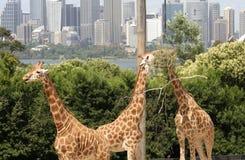 Giraffes feeding Stock Image