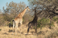 Giraffes feeding near a tree Stock Photo