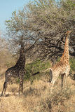 Giraffes feeding near a tree Royalty Free Stock Photography
