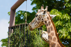 Giraffes feeding in a park Royalty Free Stock Photography