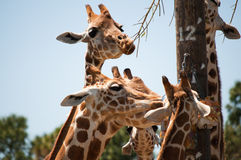 Giraffes at the feeding pole Royalty Free Stock Image