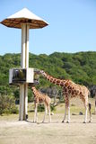 Giraffes at feeding station Royalty Free Stock Image
