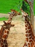 Giraffes feeding from a tall tree stock photos