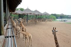 Giraffes feeding Stock Photography