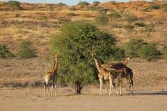 Giraffes feeding on a tree stock image